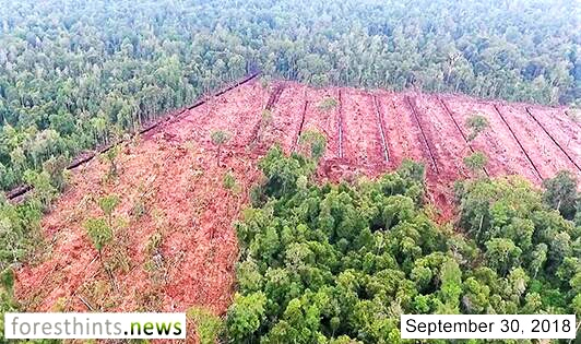 Peat forests continue to disappear in APP's HCV areas