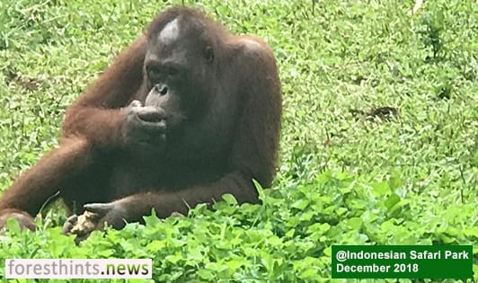 Apical, Mondelez still at fault for orangutan habitat loss