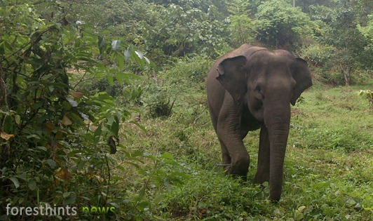 Palm oil company to rehabilitate Leuser's elephant home range
