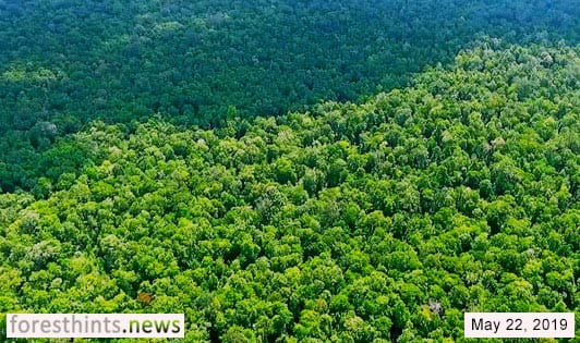 Orangutan forest update relevant to Greenpeace