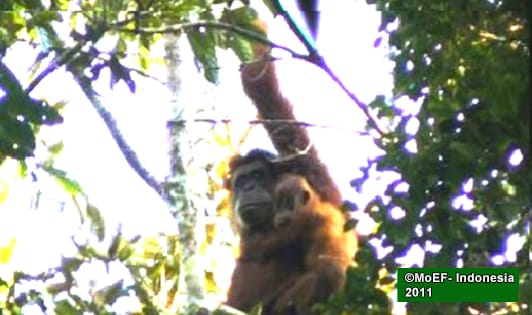 Tapanuli orangutan not a legal monitoring parameter