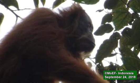 New photos show Tapanuli orangutans on the move