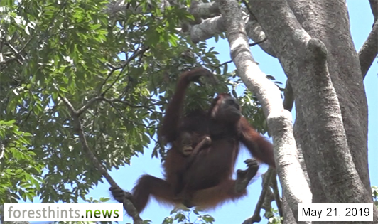 PHOTOS: Orangutans living in palm oil concession