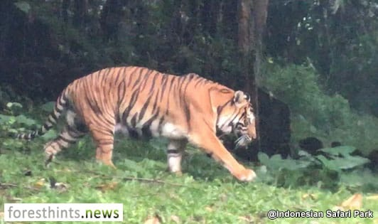 Sumatran tiger action plan for next 10 years being finalized
