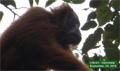 New photos show Tapanuli orangutans on the move