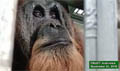 Injured Tapanuli orangutan continues to recover