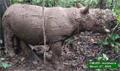 Authorities provide update on Pahu, the Sumatran rhino